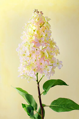 Blush Pink and Yellow Lilacs 35""