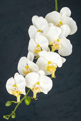 White Phalaenopsis Hanging Orchids