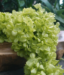Preserved Hydrangeas Spring Green | 2 Flowers