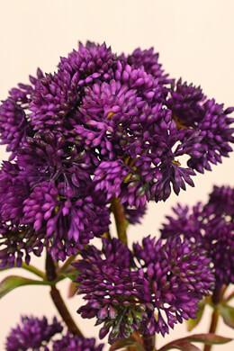 Purple Sedum Stem