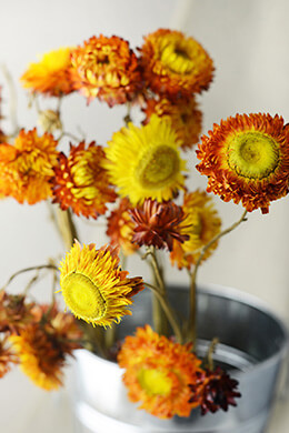Orange Dried Strawflowers Bundle
