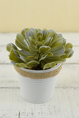 Succulent Pick Aeonium 4in