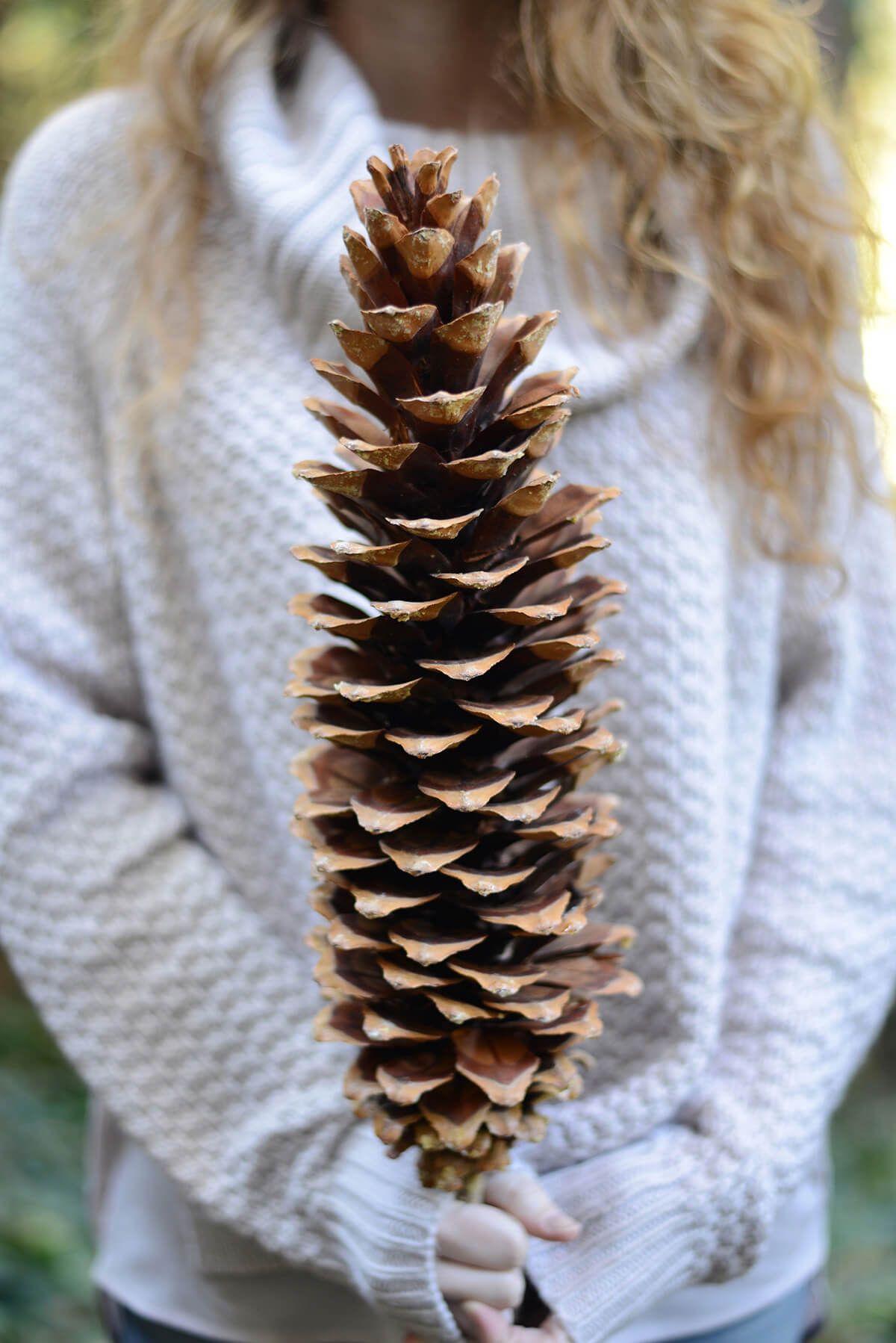 Giant Sugar Pine Cones