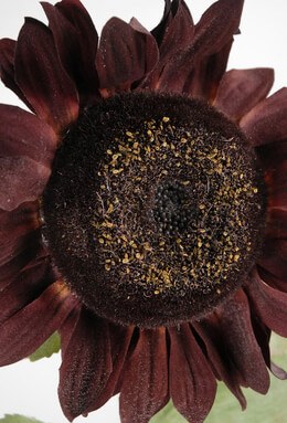 Silk Sunflower Burgundy 31in