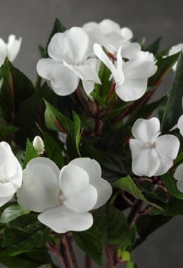 White Impatiens Flowers