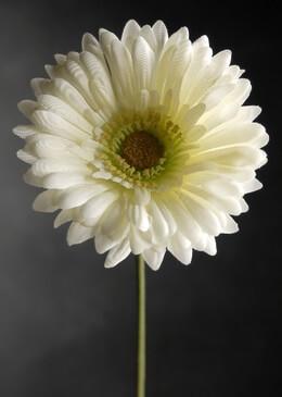 White Daisies Gerbera Silk (12 flowers)