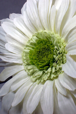 White Silk Gerber Daisy Flowers