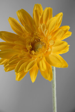 24 Yellow Gerbera Daisy Flowers