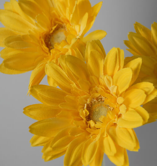 Yellow Gerber Daisies(24 flowers)