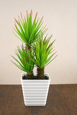 Yucca Plant Potted 14in
