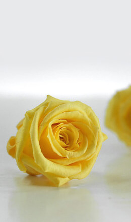 Preserved Roses 1in Yellow (12 roses)