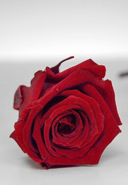 Preserved Roses 1in Burgundy Red (15 roses)