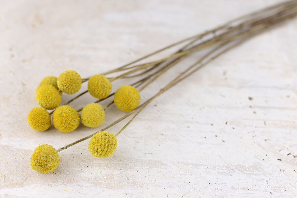 10 Preserved Billy Buttons Craspedia