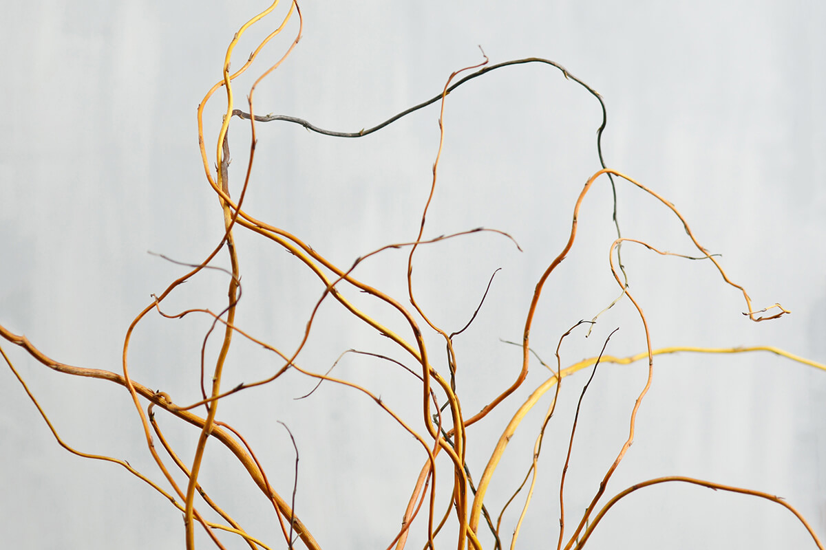 Orange & Yellow Curly Willow Branches 3-4FT