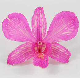 30 Preserved Pink Cotton Candy Orchid Flowers
