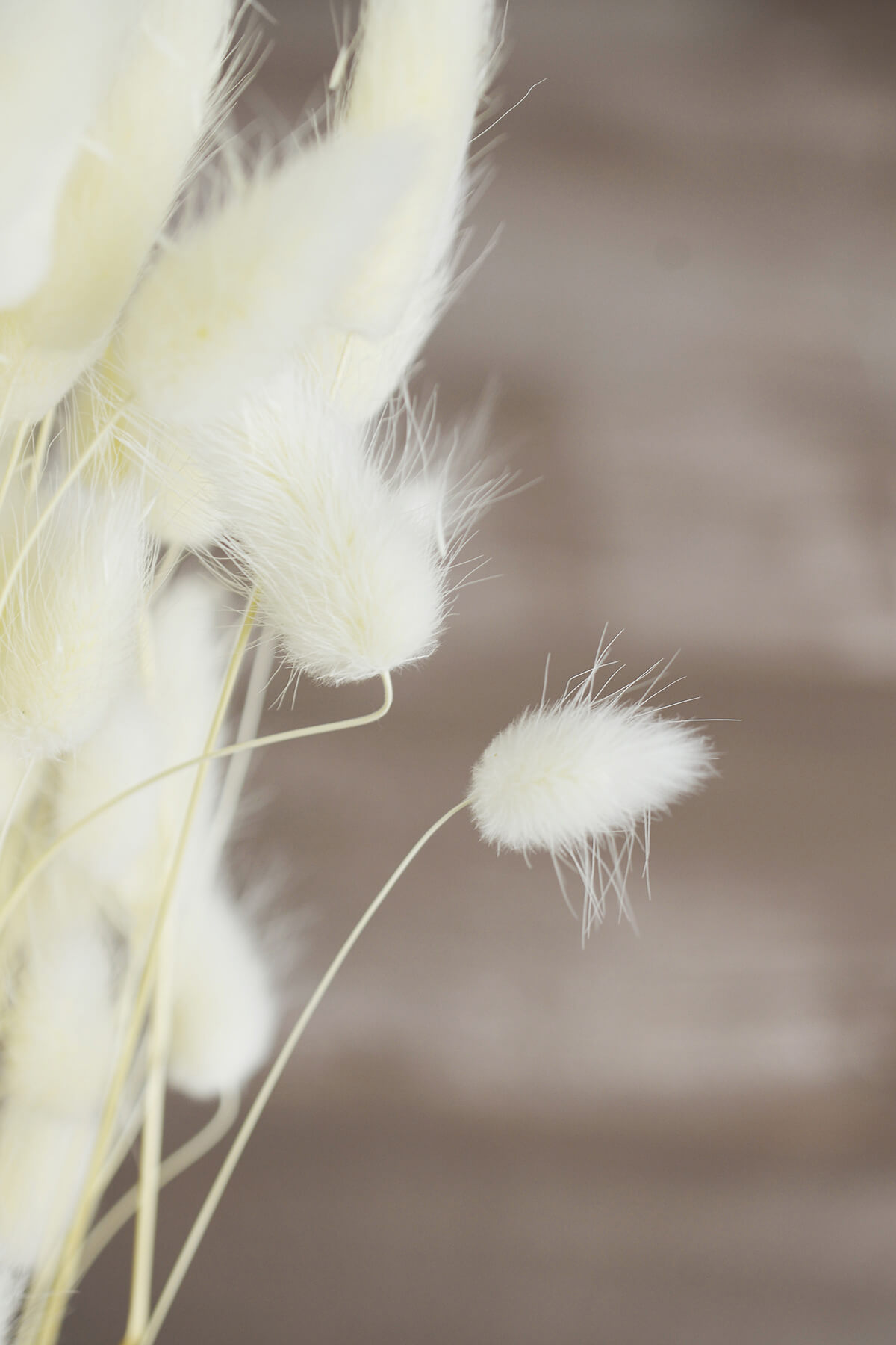 Italian Bleached Bunny Tails Ornamental Grass Bundle 2 Ounce
