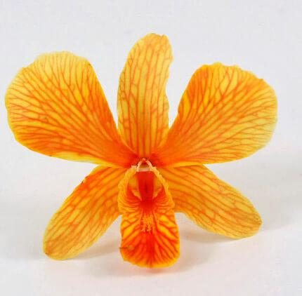 30 Orange Orchids Preserved Flowers