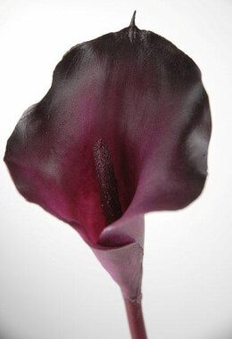 Eggplant Purple Silk Calla Lily Stem Natural Touch 22in