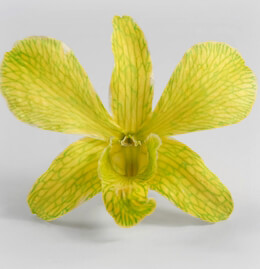 30 Preserved Orchid Flowers Chartreuse
