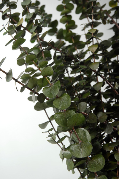 California Eucalyptus 30 Quot Green Branches Natural