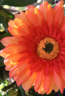 Yellow Gerber Daisy