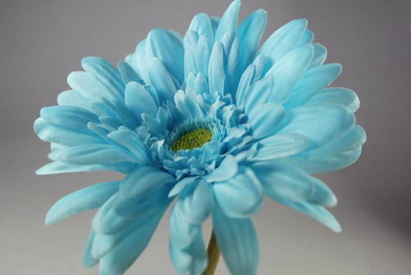 12 Gerbera Daisies Aqua Turquoise 21 Quot