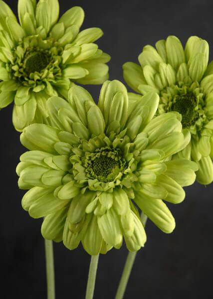 12 Green Silk Gerbera Daisies