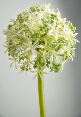 Allium Flowers White & Green Spray  31in