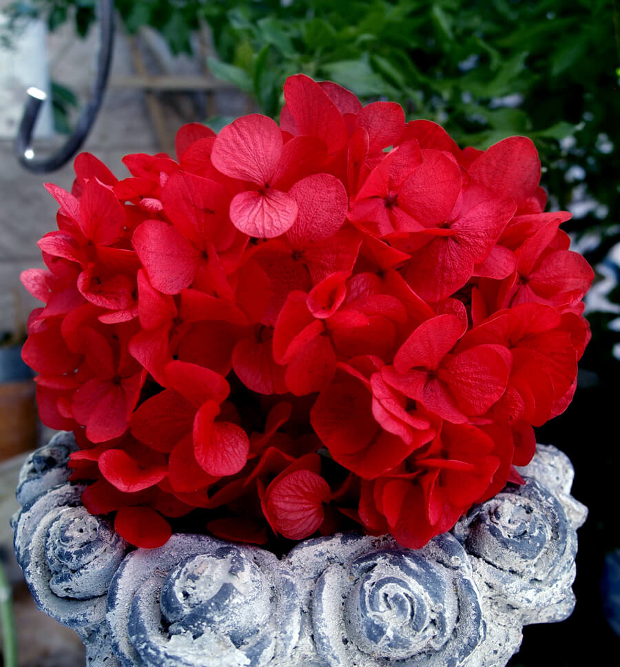 Preserved Red Hydrangea Flowers 2 oz., Potpourri