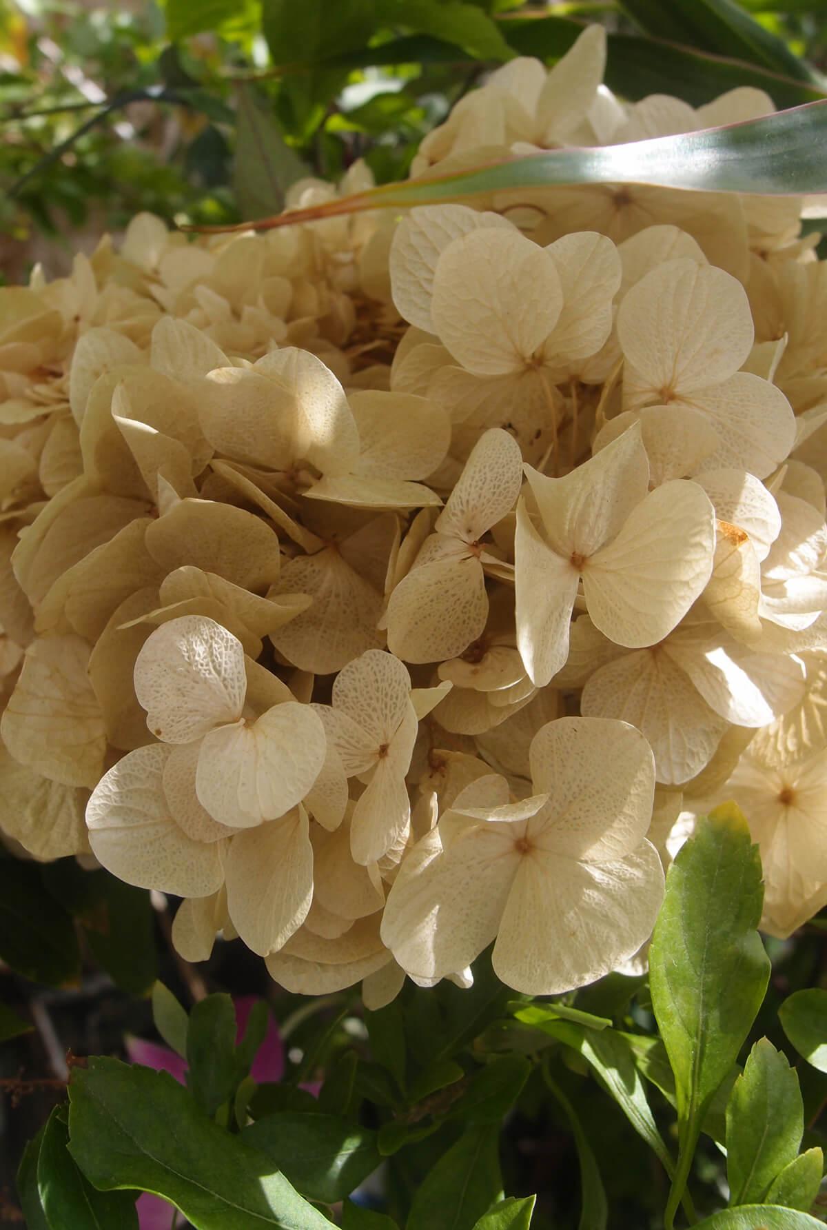 Preserved Natural Light Yellow Hydrangea