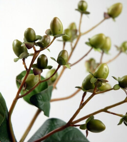 Green Hypericums Artificial 24in