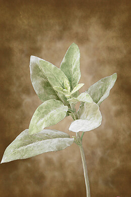 Lambs Ear Spray Frosted 15in