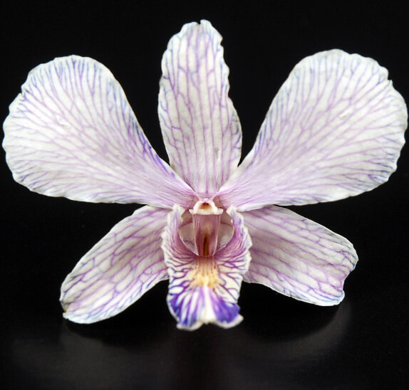 30 Preserved Ivory and Lavender Orchid Flowers