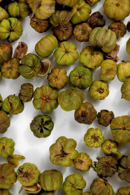 Lime Green Putka Pods 1/3 lb