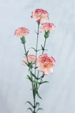 Mini Carnations Peppermint 27.5in