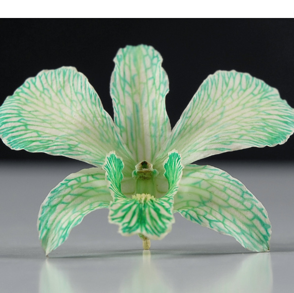 30 Preserved Seafoam Orchid Flowers