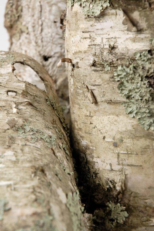Natural Birch Bark Tubes 6x15 75