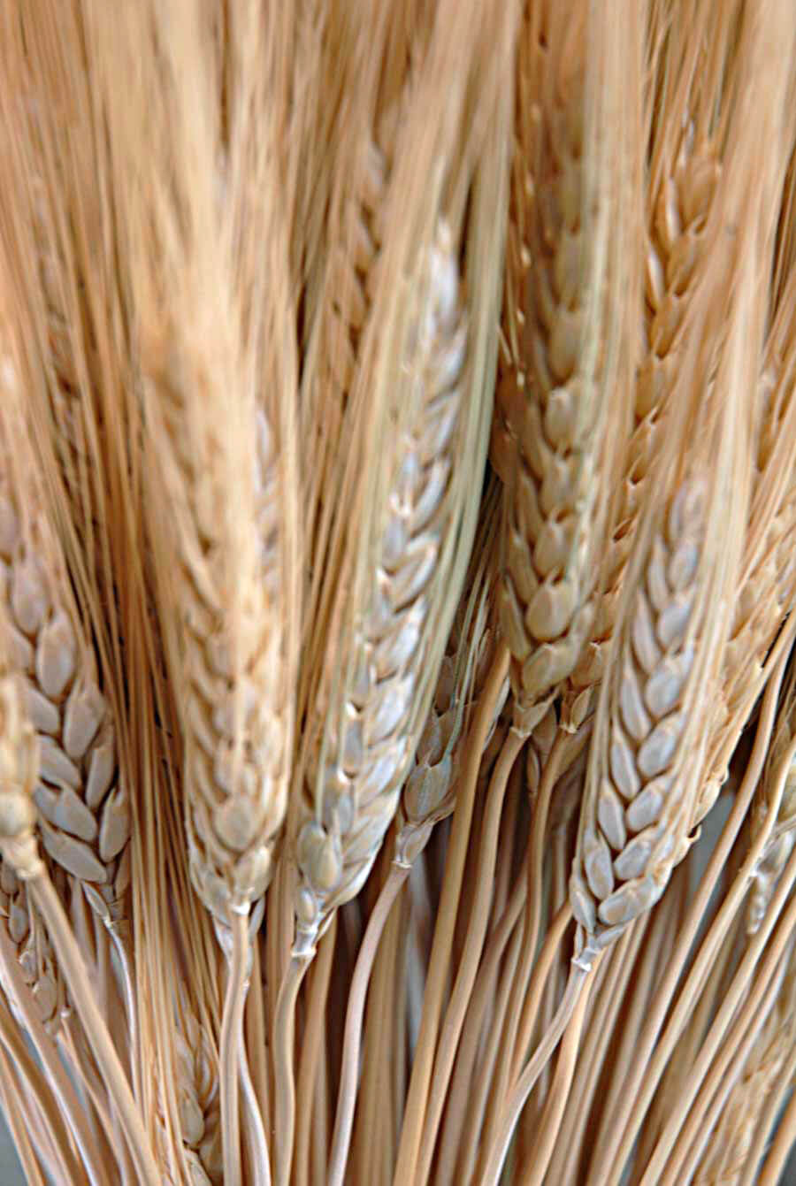 Triticum Wheat Bundle Natural 34 Inch 150 stalks