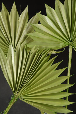 Palm Leaves Fans, Natural, (5 leaves) Preserved Light Green