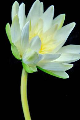 Real Touch White Water Lily 28""