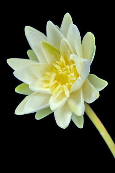 Real Touch White Water Lily 28 Quot
