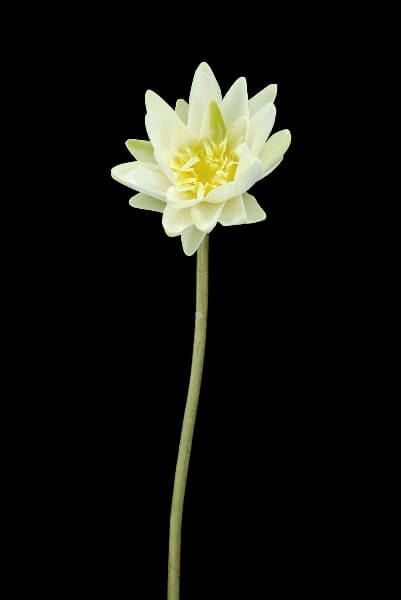 """Real Touch White Water Lily 28"""""""