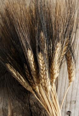 Blackbeard Wheat 34in 4 oz. Bunch Natural