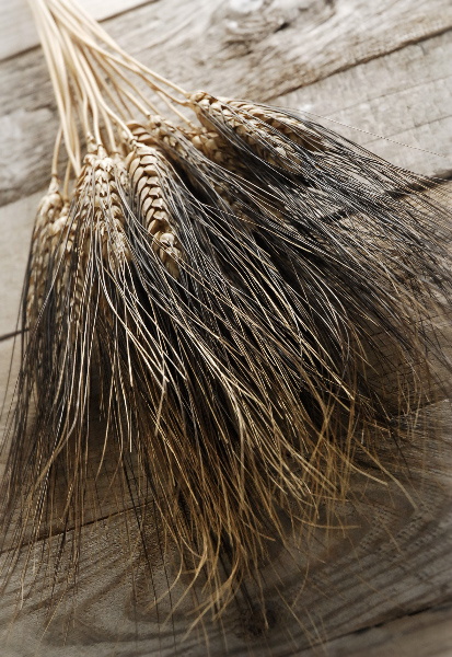 Blackbeard Wheat 34in 4 Oz Bunch Natural