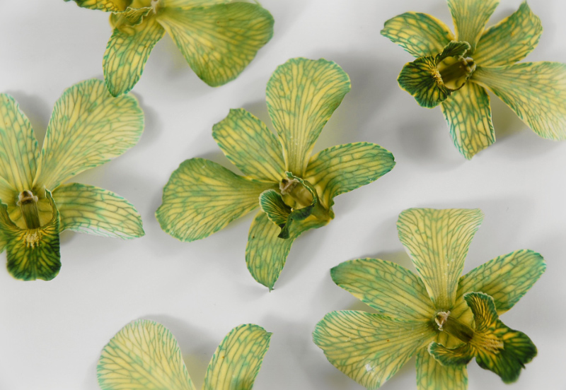30 Natural Orchid Flowers Green & Yellow  3in