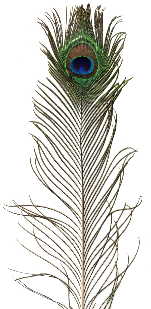 100 Large Peacock Feathers 35-40in