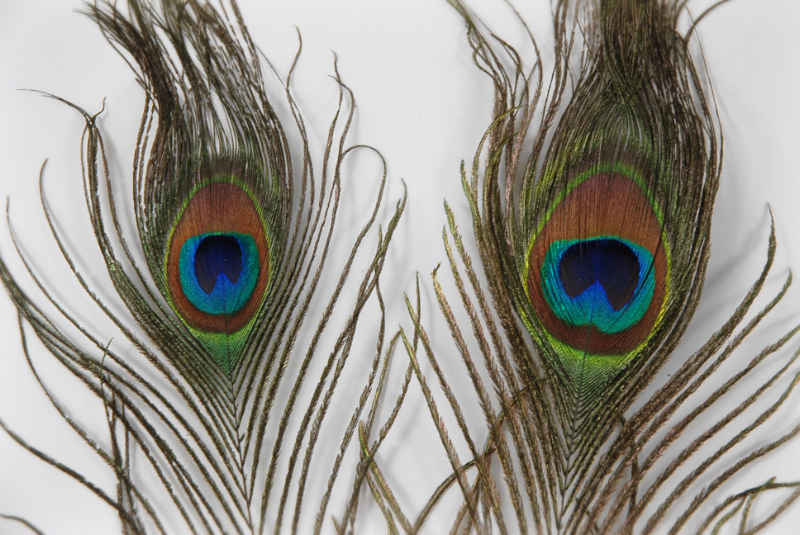 2 Peacock Eye Feathers 8in