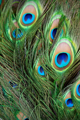 100 Peacock Eye Feathers 8-12in
