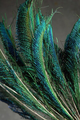 Peacock Sword Feathers 12-20in (Pack of 100) Bulk Buy