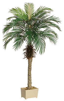 Phoenix Palm Tree 5ft